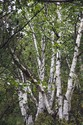 BIRCH TREES I, GYALTHANG, CHINA